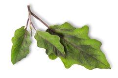 Kilka zieleni liście oberżyna Zdjęcia Royalty Free