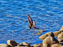 Killdeer летания Стоковая Фотография