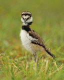 Killdeer младенца Стоковое Фото