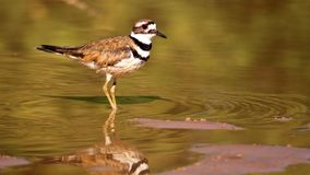 Killdeer на береге озера Стоковые Фото
