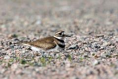 Killdeer на гнезде Стоковое фото RF