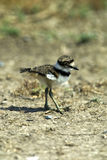 killdeer цыпленока Стоковая Фотография
