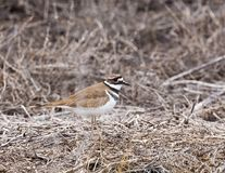 killdeer Obrazy Royalty Free