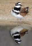 Killdeer Lizenzfreie Stockfotos