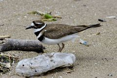 Killdeer Fotografia Stock