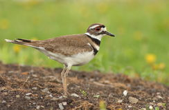 Killdeer Royalty Free Stock Image