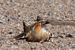 Killdeer photo libre de droits