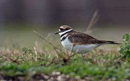 Killdeer Imagem de Stock Royalty Free