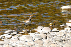 Killdeer Fotografie Stock