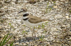Killdeer Immagine Stock