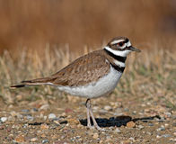 killdeer Stock Foto's