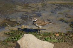 killdeer Image stock