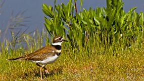 killdeer Stock Fotografie