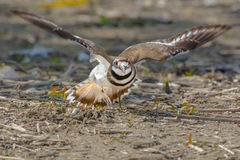 killdeer Fotografia Royalty Free