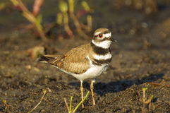Killdeer Obraz Royalty Free