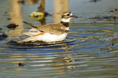 killdeer Images libres de droits