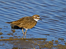killdeer Obrazy Stock