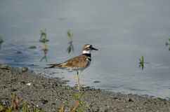 killdeer stockfoto