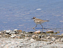 killdeer Foto de Stock Royalty Free