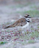 killdeer Photographie stock libre de droits