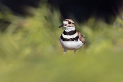 killdeer Images stock
