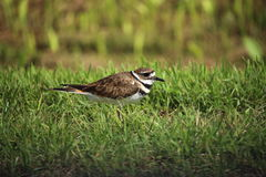 killdeer Stockbild
