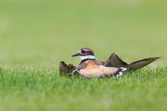 Killdeer Act. Killdeer doing its broken wing act to fool predators  away from its nest and young Stock Images