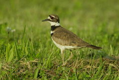 Killdeer adulte sur une pelouse verte Photographie stock libre de droits
