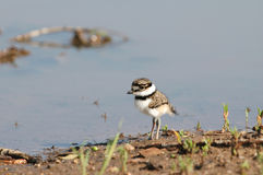 Killdeer Baby Stock Images