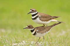Killdeer Behavior Royalty Free Stock Photo