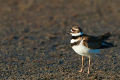 Killdeer bird Royalty Free Stock Photos