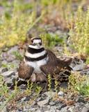 Killdeer bird defending its nest royalty free stock image