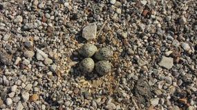 Killdeer Bird Eggs on Gravel Road royalty free stock photos