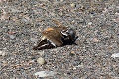 Killdeer bird faking injury Stock Images