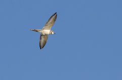 Killdeer Bird in Flight. Killdeer Bird flying Monroe Georgia royalty free stock photography