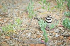 Killdeer bird guards her nest of eggs. Killdeer guards nest of eggs in a rocky area Royalty Free Stock Photo