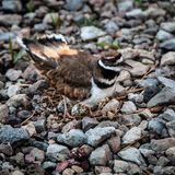 Killdeer guarding her nest royalty free stock photo