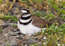 Killdeer bird sitting on nest with young stock images