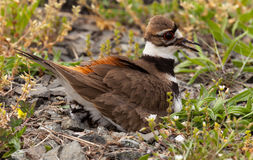 Killdeer bird sitting on nest with young Royalty Free Stock Photography