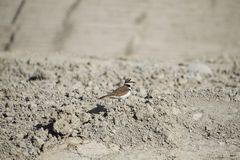 A killdeer bird standing in a pile of dried dirt stock photo