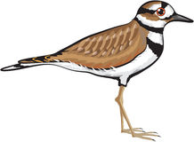 Killdeer bird vector illustration simplified drawing design file Stock Photo