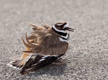 Killdeer bird warding off danger Stock Images