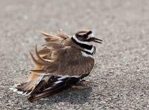 Killdeer bird warding off danger stock images