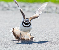 Killdeer bird warding off danger Royalty Free Stock Image