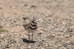 Killdeer Royalty Free Stock Photography