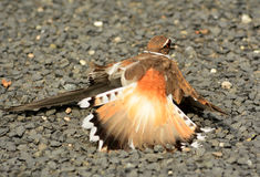 Killdeer brutna Wing Dance Royaltyfri Bild
