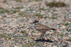 Killdeer Calling Out Royalty Free Stock Photo