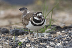 Killdeer Calling to Defend its Territory Stock Photo