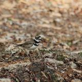 Killdeer camuflage Stock Images