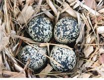 Killdeer ( Charadrius vociferus ) eggs in nest Stock Image